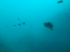 Puffer Fish close by